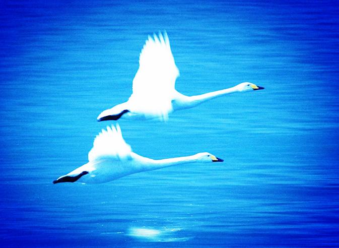 """【风恋.在路上】我和""""丑小鸭""""同飞翔(散文)"""